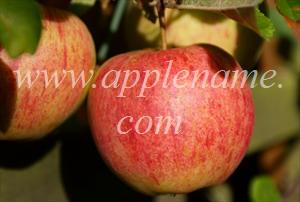 Elstar apple identification - Elstar apples