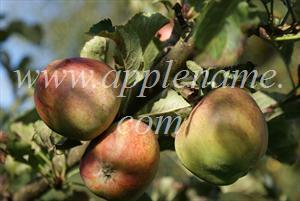 Kidd's Orange Red apple identification - Kidd's Orange Red - not quite ripe yet