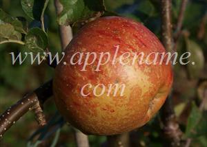Rubinette apple identification - A fairly clean Rubinette apple growing on an espalier MM106