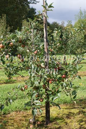 A typical weak-growing mature Rubinette tree on M9 rootstock (this is the Rosso sport)