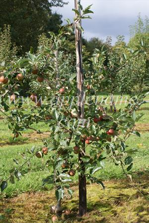 Rubinette apple identification - A typical weak-growing mature Rubinette tree on M9 rootstock (this is the Rosso sport)