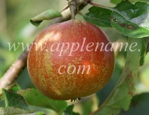 Rubinette apple identification - Rubinette Rosso, with the redder coloration not that apparent