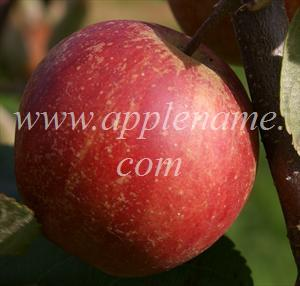 Rubinette apple identification - Rubinette Rosso, showing the redder coloration of this sport