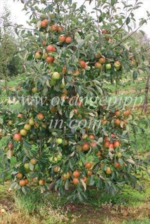 Red Falstaff tree, M9 rootstock - note the heavy crop which is typical of this variety