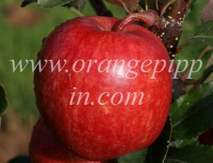 A tree-ripened Gala apple, note the shape, reminiscent of Golden Delicious