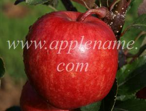 Gala apple identification - A tree-ripened Gala apple, note the shape, reminiscent of Golden Delicious