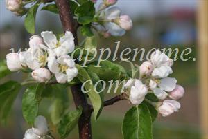 Sunrise apple identification - Sunrise blossom