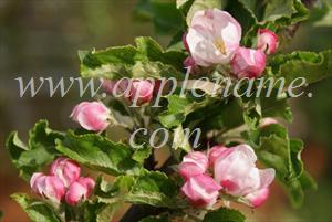 Kidd's Orange Red apple identification - Blossom