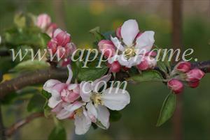 Egremont Russet apple identification - Egremont Russet blossom