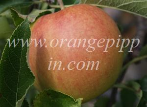 Jonagold Is High Quality American Le Developed In The 1940s As Its Name Suggests This A Cross Between Jonathan And Golden Delicious