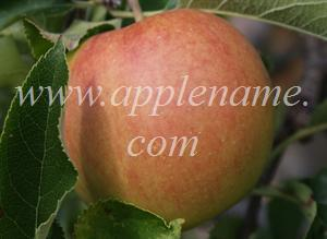 Jonagold apple identification - Jonagold