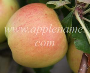 Gala apple identification - Gala