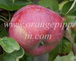 Cortland apple identification - Cortland apple from Ontario