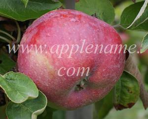Cortland apple identification - Cortland apple from Ontario