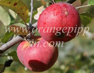 Organic Cortland apples in New Hampshire
