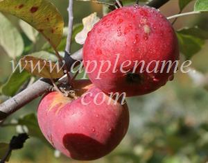 Cortland apple identification - Organic Cortland apples in New Hampshire