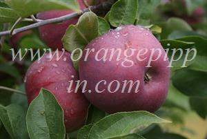 Cortland apple identification - Red Cortland, Ontario