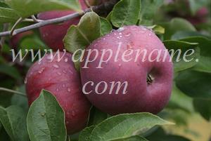 Cortland apple identification - Red Cortland, Ontario