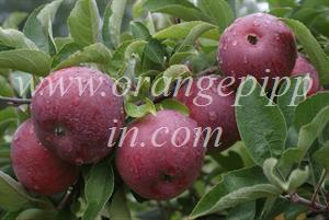Empire apples, Quebec