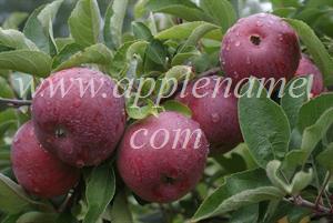 Empire apple identification - Empire apples, Quebec