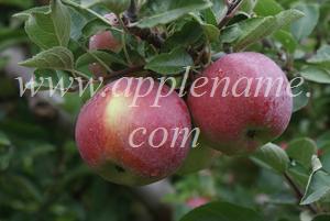 Empire apple identification - Empire apples, Toronto, Canada