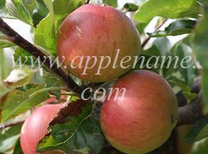 Fiesta apple identification - Fiesta apples, Kent, UK