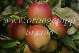 Fiesta apples at Brogdale Farm, UK