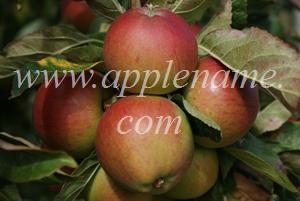Fiesta apple identification - Fiesta apples at Brogdale Farm, UK
