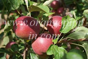 McIntosh apples, Brogdale Farm, UK