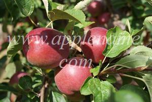 McIntosh apple identification - McIntosh apples, Brogdale Farm, UK