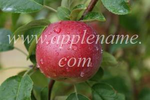 McIntosh apple identification - McIntosh apple, New York state