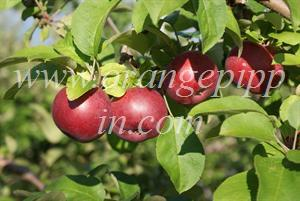McIntosh apples, Eastern Townships, Quebec