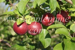 McIntosh apple identification - McIntosh apples, Eastern Townships, Quebec