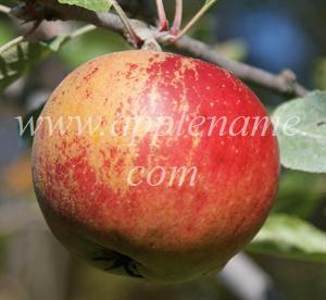 Cox's Orange Pippin apple identification - Cox's Orange Pippin in New Hampshire