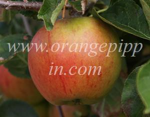 Cox's Orange Pippin at the National Fruit Collection, Kent, England