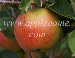 Cox's Orange Pippin apple identification - Cox's Orange Pippin at the National Fruit Collection, Kent, England