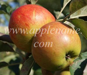 Ribston Pippin apple identification - Ribston Pippins in a garden in Kent, UK