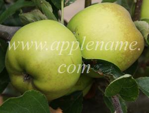 Grimes Golden apple identification - Grimes Golden at the UK National Fruit Collection