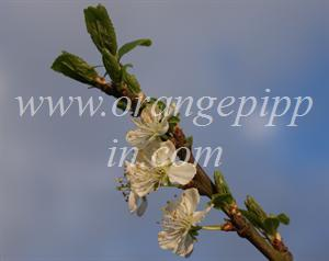 Early Transparent Gage blossom
