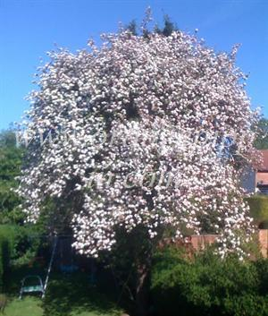 Blenheim Orange tree in blossom