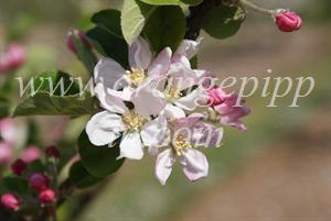 Brown's Apple - blossom at the UK National Fruit Collection