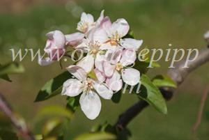 Golden Delicious apple identification - Golden Delicious blossom