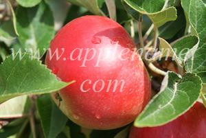 Discovery apple identification - Discovery apple August 8th 2010