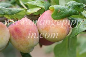 Avalon plums - slightly under-ripe