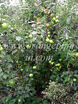 Bountiful apple tree