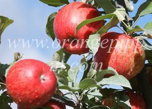 Apple Honeycrisp Tasting Notes Identification Reviews