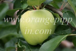 b027c412a9f Apple - Lodi - tasting notes, identification, reviews