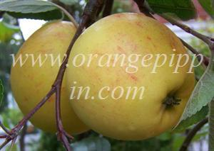 James Grieve apples