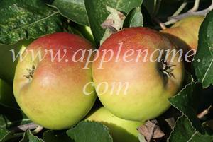 Roxbury Russet apple identification - Roxbury Russet (showing minimal russeting)
