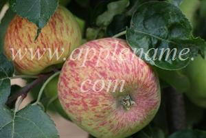 Duchess of Oldenburg apple identification - Duchess of Oldenburg